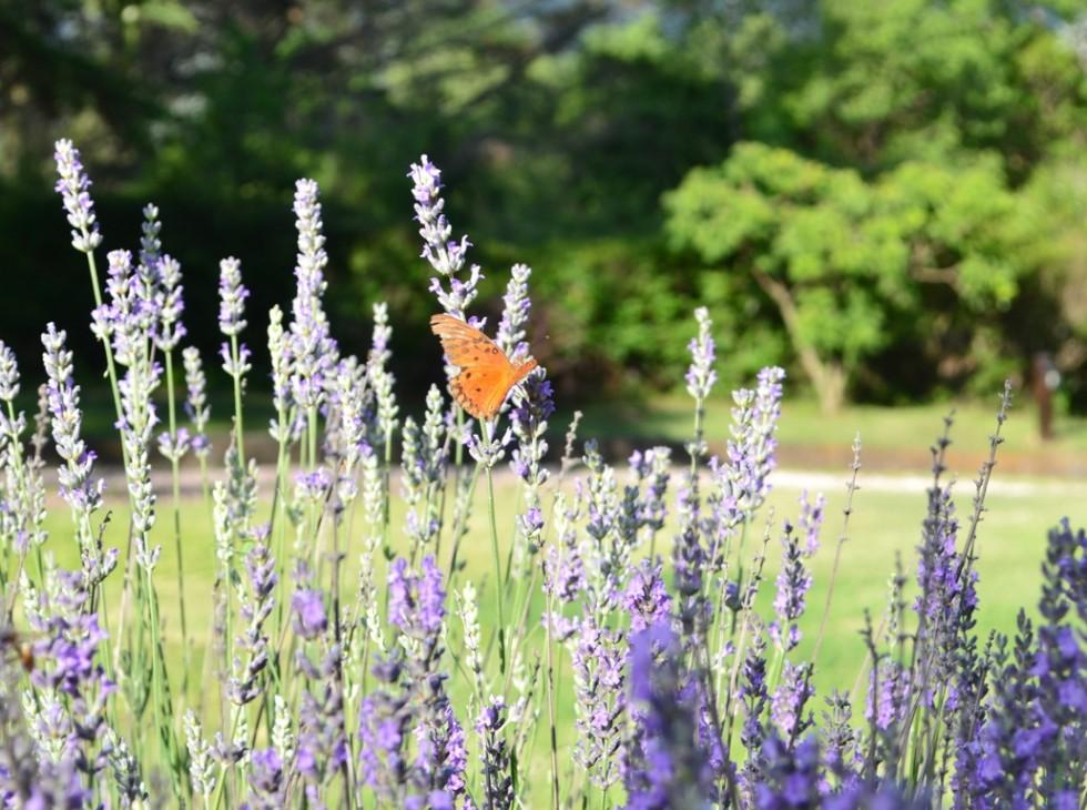 Lavandas y mariposa 8